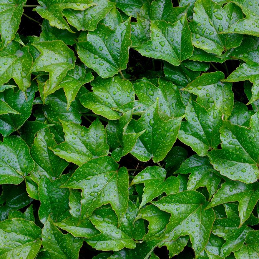 Textura de planta enredadera